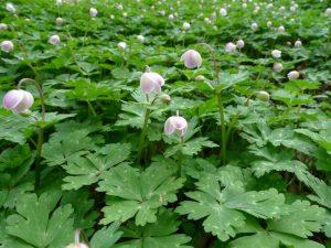 カトラ谷お花畑のニリンソウ